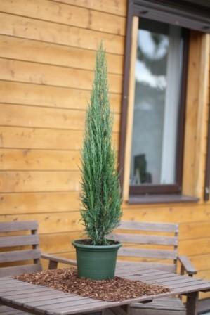 Можжевельник скальный blue arrow juniperus